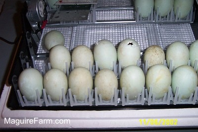 There are 12 eggs in an open incubator. One egg has a crack in the top of it