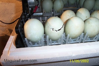 Over a dozon eggs in an incubator. one egg is beginnign to hatch