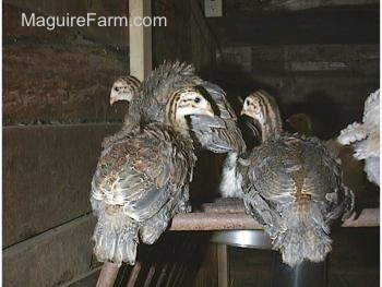 Three keets are standing on a metal bar of an old hay rack that is sideways on the floor of the coop.