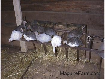 Seven keets are looking forward on a metal hay rack that is sideways on the ground. There is one white keet hanging over and looking at the ground.