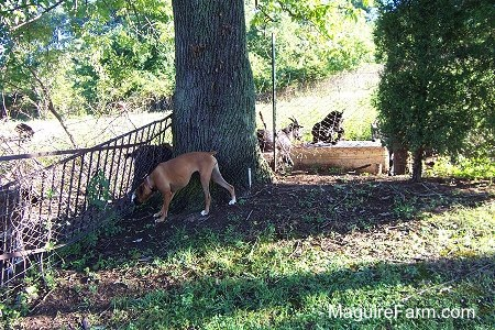 The tan Boxer dog is standing next to a large tree. The dog is staring at goats on the other side of the fence in front of the tree
