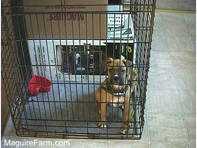 A tan Boxer puppy is sitting in a crate. There are several large boxes behind the puppy inside of the crate in a kitchen