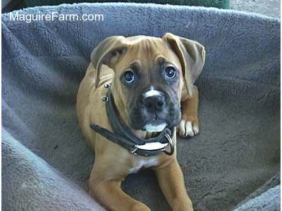 Close Up - A fawn Boxer Puppy is laying in a dog bed and looking up