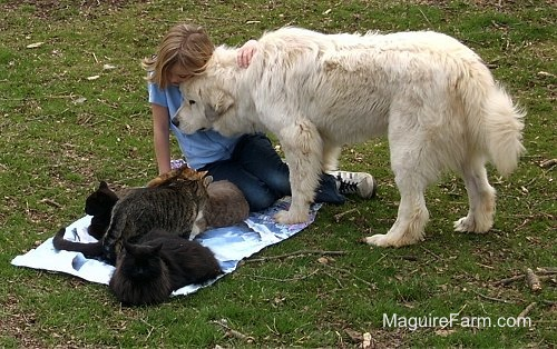 A blonde-haired girl is sitting on a blue towel with 5  cats on it. A white Great Pyrenees dog is putting his head onto the girls chest and the girl has her arm on the dog's back.