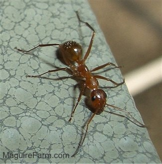close up of a red Ant