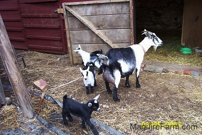 A black and white adult mother goat with her four kids. two are black and two are black and white. They are in front of a red barn with the stall door open.
