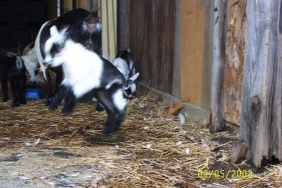 Action shot - A black and white kid goat is jumping around. A The mom goat is eating food out of a blue bowl with two other kids in the background.