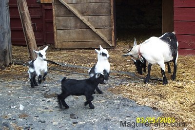 A black and white adult mother goat with her four kids. Both black and white goats are in mid air jumping and the black goats are walking and standing. they are all in front of an open barn stall door of a red barn.