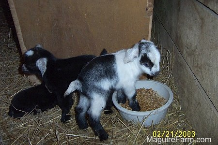 A black and white kid goat is standing in the feed bowl with two other black kids standing and laying down behind it.