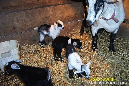 Two black and white and two black kid goats are standing in a barn stall full of hay. There is a plastic tan bucket of water in the top left corner. There is a black and white goat standing against the wood stall wall.