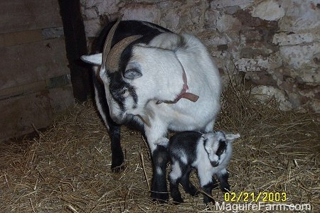 A black and white kid goat is standing under its mother who is also black and white. They are in a barn stall lined with fresh hay.