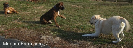 The yellow Labrador is play bowing at the brown brindle Boxer dog who has one of his paws in the air. They are both ready to play. The fawn Boxer dog is laying back and watching