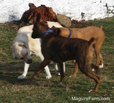 The yellow Labrador is playing with the brown brindle Boxer. The fawn Boxer dog is running in-between them