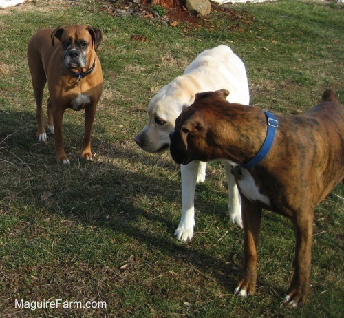 The fawn Boxer is looking at the yellow Labrador who is next to the brown brindle Boxer