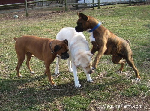 The brown brindle Boxer Dog is jumping in the air at the yellow Labrador. The fawn Boxer is moving in looking down at the Lab's neck