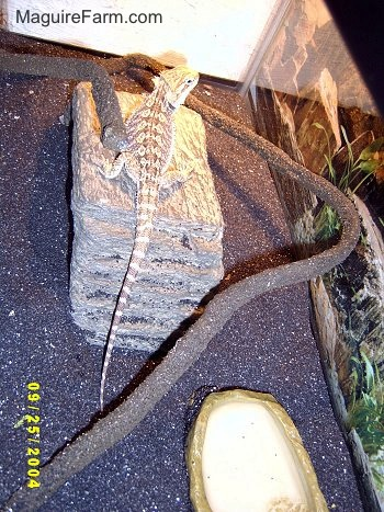 view from the top - A bearded dragon lizard on a rock bridge inside of a fish tank with black sand.
