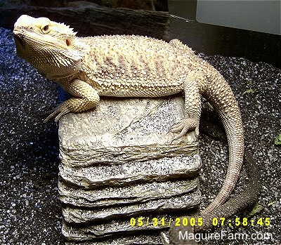 A bearded dragon is resting on a pile of rocks.