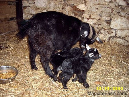 A black mother nanny goat with her three black kids inside of a barn stall on hay. Two black kids are drinking milk from the mother. The third black baby kid goat is looking forward. There is a metal bowl of feed behind them. The one wall in the stall is painted white stone and the other is wood.
