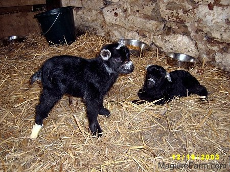 Two black kid goats standing and laying in hay. There is a black bucket and two silver metal feed bowls in the background. One of the goats has a white bandage around its back leg.