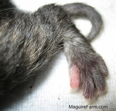 Close up - the tiny back foot of a newborn kitten