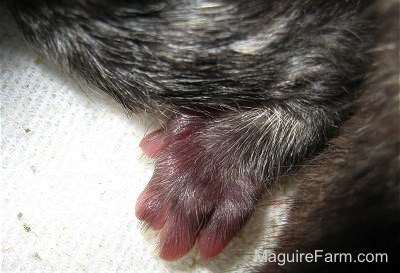 Close up - the iny foot of a newborn kitten