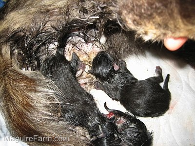 wet newborn kittens laying next to their wet mother who is giving birth