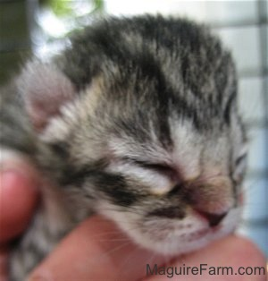 Close up - the face of a newborn shorthaired gray tiger tiger kitten in a person's hand