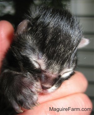 Close up - the face of a newborn medium-haired tiger kitten in a person's hand