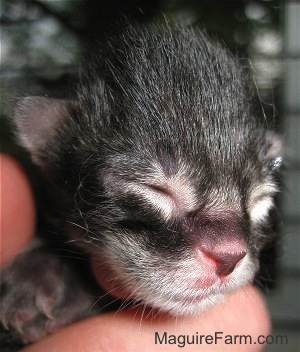 Close up - the face of a newborn medium-haired tiger kitten
