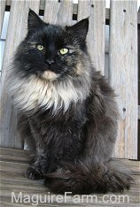 A longhaired calico cat is sitting on a wooden bench