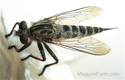 black fly with a pointy tail