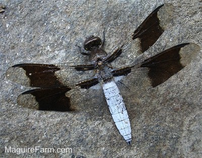 black and clear Dragonfly with two sets of wings
