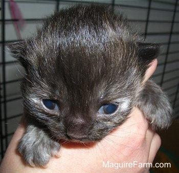 Close up - the face of a calico kitten that looks black that just opened its eyes in the hand of a person.