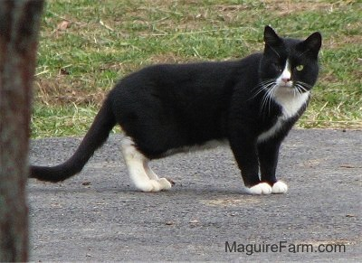 A one-eyed black cat with white on the chest, back legs, front paws, neck and nose.