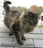 A longhaired tiger cat is standing on a roof of a dog house next to a white house