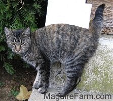 A gray tiger cat is standing against a wooden white porch pillar on a stone porch