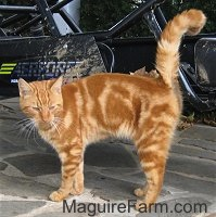 An orange tiger cat is standing on a stone porch. There is a four wheeler behind it