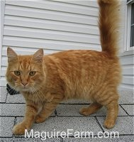 An orange tiger cat is standing on a roof of a dog house with a white house behind it