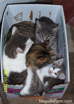 Four cats in a white cardboard box. One is light gray tiger, one is a calico, one is a gray and white cat and the fourth is a gray and white kitten.
