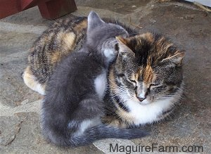 An adult calico cat with a tiny gray and white kitten snuggled up to it on a stone porch with a red wooden bench next to them.