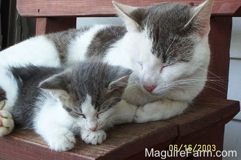 An adult gray and white cat sleeping on a red wooden bench next to a tiny gray and white kitten in fornt of a white house.