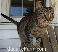 A grey tiger cat with black stripes is standing on the side of a wooden glider's arm on a stone porch in front of a window