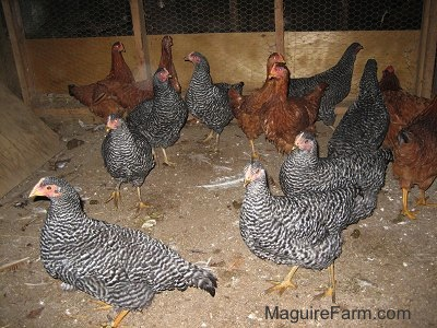 Eight Barred Rock Chickens and Six New Hampshire Red Chickens are looking around in a barn