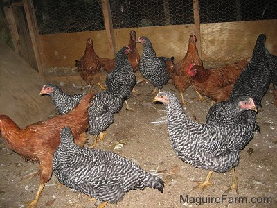 Eight barred rock chickens and five New Hampshire red chickens are walking around inside of a barn