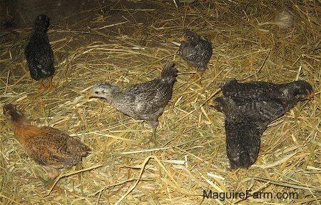 Seven Chicks are moving around in Hay