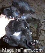 A black kitten is being held in the air belly-out by a person