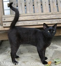 A shorthaired black cat is standing on a stone porch in front of a wooden glider. Its tail is curled up