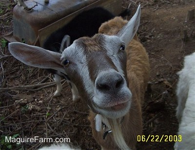 Close Up - A brown and white goat looking up. It looks like it is smiling. There is a black goat behind it next to an up-side down metal tub. There is a white dog next to them.