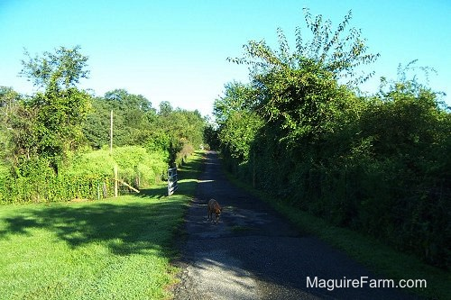 A very long driveway with a tree line on each side. There is a fawn boxer dog walking down it.