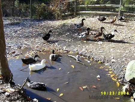 A Couple of ducks are swimming in the pond. A lot of the ducks are just exploring the area